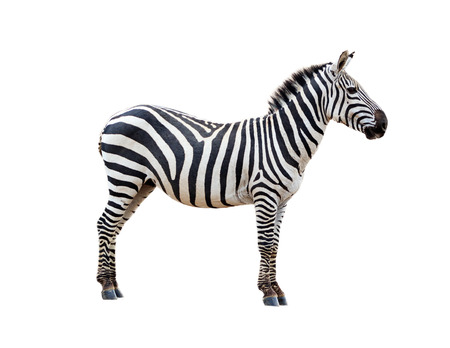 Side view of a Grevy's Zebra. Isolated on white.