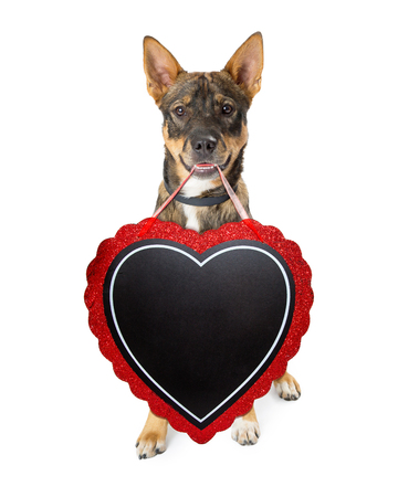 Cute Shepherd crossbreed dog carrying blank heart-shaped chalkboard to enter your Valentines Day message with chalk font Stock Photo