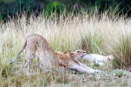 Het vermoeide vrouwelijke leeuw uitrekken zich in lang gras van Kenia, Afrika Stockfoto