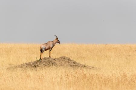 ケニア、アフリカのマラトライアングルの草原の土の上に立つ野生のトピ 写真素材