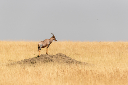 Wild topi standing on a dirt mound in a grass field in the Mara Triangle in Kenya, Africa