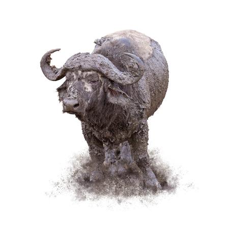 Grappige modderige Kaapse buffels die zich in stapel van vuil bevinden Stockfoto