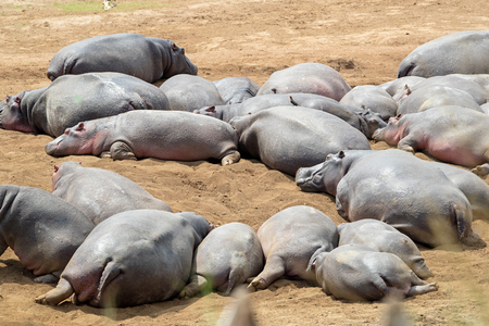 Large pod of lazy hippos lying in the dirt of Kenya, Africa