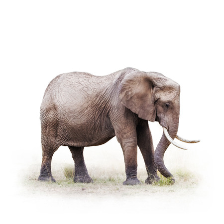 Beautiful adult African elephant grazing on grass. Isolated on white with square crop. Banco de Imagens