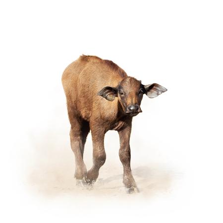 Schattige baby Cape Buffalo lopen door vuil en stof. Geïsoleerd op wit met vierkant gewas