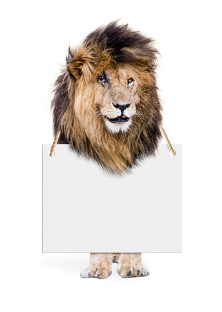 African lion wearing blank sign around neck. Isolated on white
