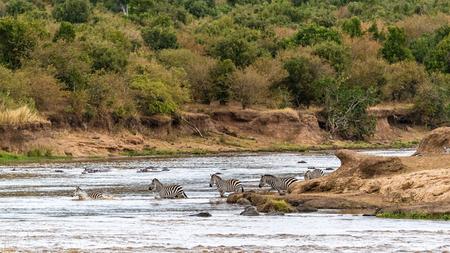 Herd of zebra crossing the Mara River in Kenya, Africa