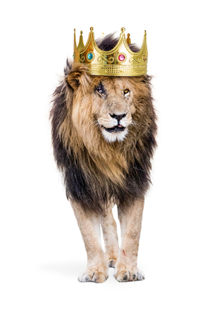 Conceptual photo of male lion with battle scars wearing a king of the jungle crown. Isolated on white.  Banque d'images
