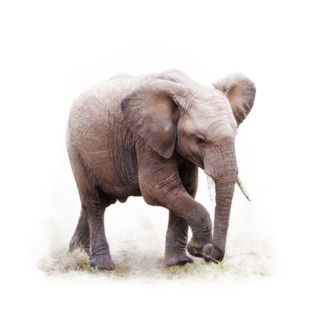 Baby African elephant walking. Isoalted on white with square crop. Standard-Bild
