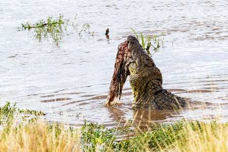 African Nile Crocodile in the Mara River in Kenya with zebra carcass in mouth Stock Photo