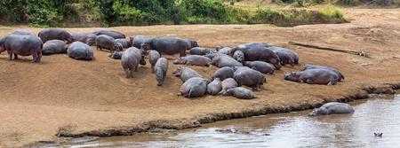 케냐, 아프리카의 마라 강둑에 일광욕하는 큰 포드 마