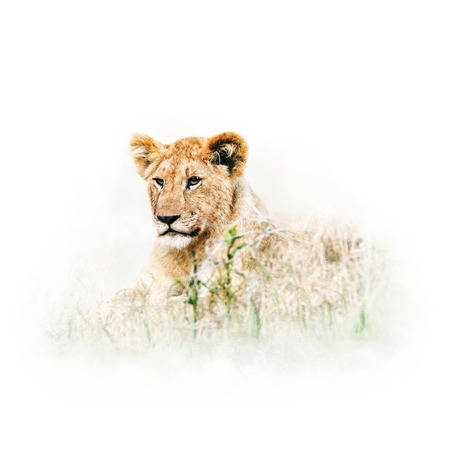 Cute baby lion lying in tall grass of Africa.