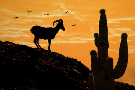 Silhouette of Desert Bighorn sheep and Saguaro cactus with birds flying at golden sunset Фото со стока - 94250991