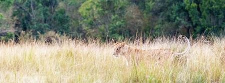 Websitebanner of sociale media kopbal die van vrouwelijke leeuwin zich in lang gras van Kenia, Afrika bevinden met exemplaarruimte