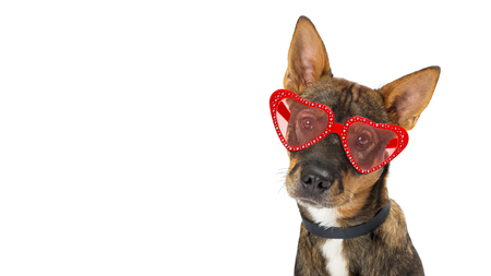 Closeup photo of cute dog wearing heart shaped Valentines Day sunglasses. Website banner with copy space Stock Photo