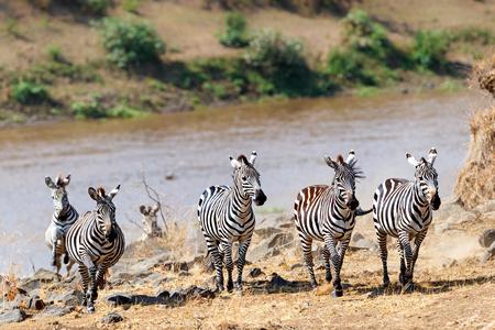 Herd of Zebra running forward on the bank of the Mara river