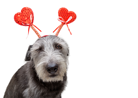 Funny photo of dog with annoyed expression wearing heart shaped Valentines Day headband. Isolated on white with copy space