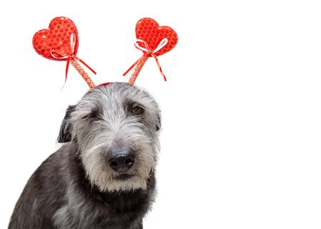 Lustiges Foto des Hundes mit tragendem Herzen des gestörten Ausdrucks formte Valentinstagstirnband. Isoliert auf weiss mit textfreiraum Standard-Bild - 94258341