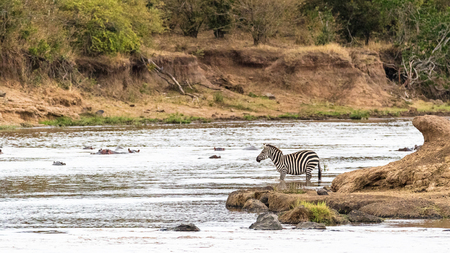 Zebra looking out over Mara Rive in Kenya, Africa with hippopotamus