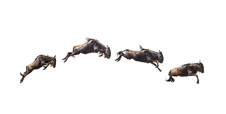 Series of four wildebeest leaping in mid-air. Isolated on white.
