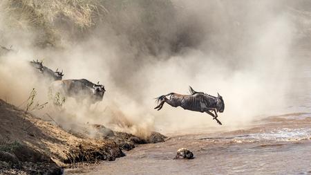 Blauwe Wildebeest die in Mara River in Kenia, Afrika springt tijdens migratieseizoen