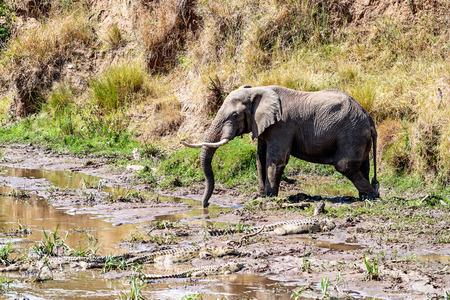 케냐, 아프리카에서 진흙 속에 악어와 함께 마라 강에서 아프리카 코끼리 큰 식수 스톡 콘텐츠