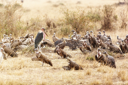 Large group of scavenger birds in grass of Kenya Africa