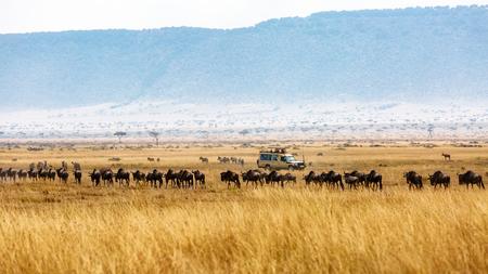 줄에서 wildebeest의 무리와 함께 케냐 아프리카의 초원에서 관광 게임 운전