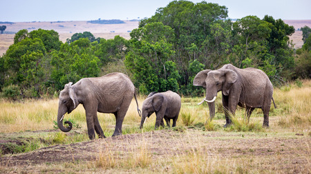 Family of three elephants walking through the grasslands of Kenya Africa Banco de Imagens