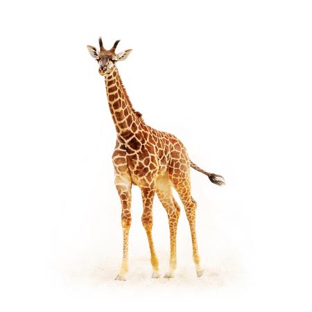 Girafa do bebê isolada no branco com poeira e sujeira. Colheita quadrada.