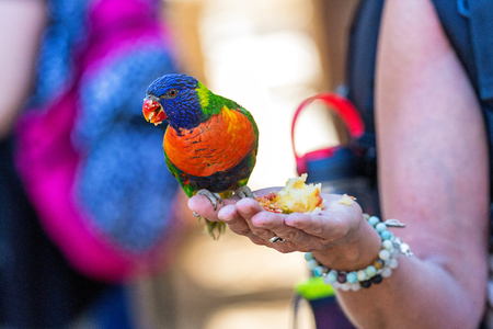 Colorful bird on the hand of a person feeding it an apple