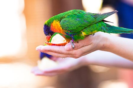 앵무새 새가 사과 조각을 먹는 여자의 손에 자리 잡고