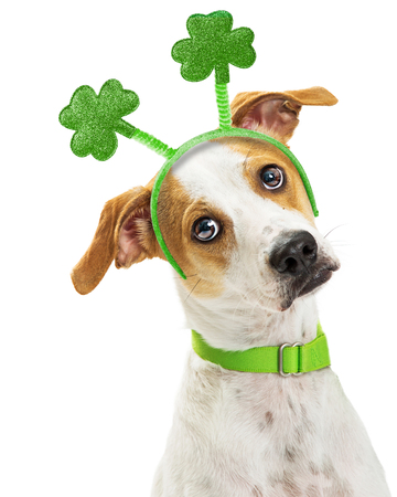 Cute mixed breed dog wearing St. Patrick's Day green clover headband and tilting head