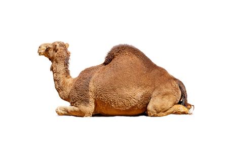 Zijaanzicht van een Arabische kameel die ligt. Geïsoleerd op wit. Stockfoto