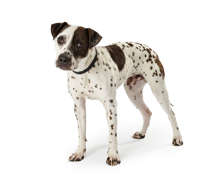 Cute medium size mixed terrier breed dog with white fur and black spots standing on white and looking into camera.