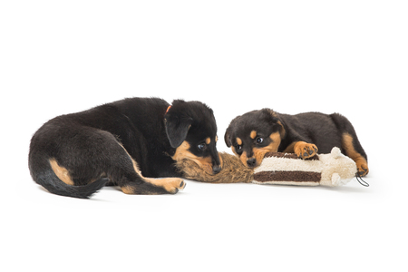 Two cute Rottweiler puppy dogs playing with a stuffed animal together