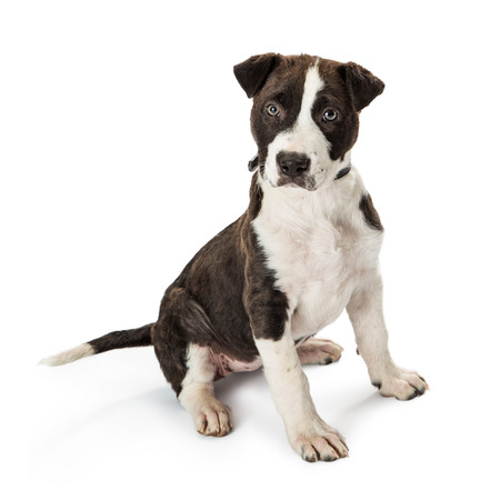 Cute terrier mixed breed young puppy dog sitting on white, looking into camera