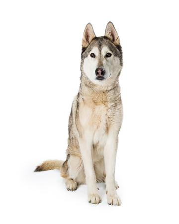 Large Siberian Husky breed dog sitting on white studio background
