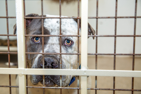 Sad large Pit Bull breed dog behind bars of a kennel at a rescue shelter