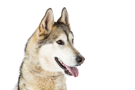 Closeup photo of a Siberian Husky breed dog over white, looking to side