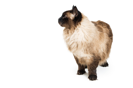 Beautiful Himalayan cat standing on white and looking to side into blank room for text Imagens