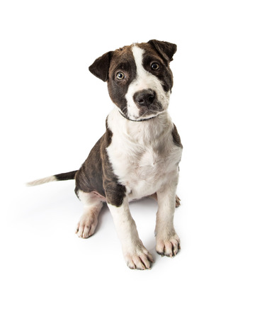 Cute young black and white puppy dog sitting down on a white background and looking forward