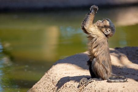 Lindo mono capuchino copetudo marrón bebé joven mirando hacia arriba y levantando las manos como si estuviera rogando o rezando