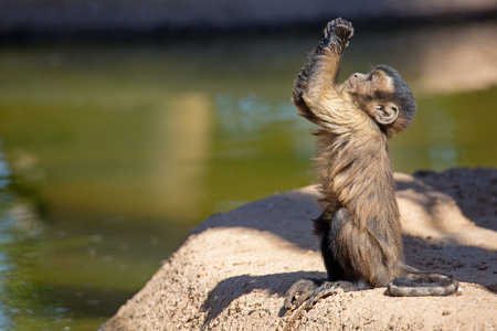 Cute young baby brown tufted Capuchin monkey looking up and raising his hands like he is begging or praying