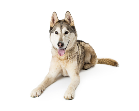 Large breed Siberian Husky dog lying down on a white studio background with happy expression 스톡 콘텐츠