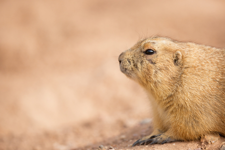 Closeup of a gopher in the dirt with copy space in blurred background