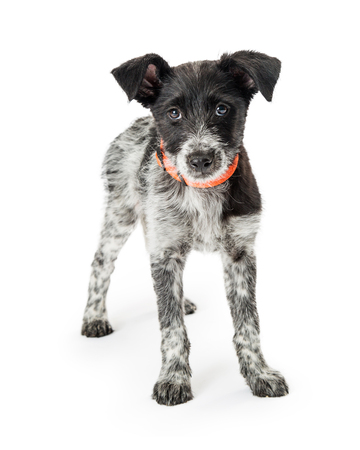 Young wirehaired Jack Russell mixed breed puppy dog standing on white studio background.