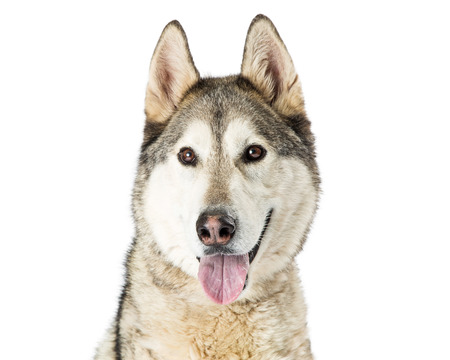 Closeup photo of a large Siberian Husky dog over white with open mouth and happy expression