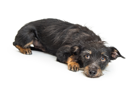 Cute small mixed terrier breed dog lying down and looking up with guilty or scared expression