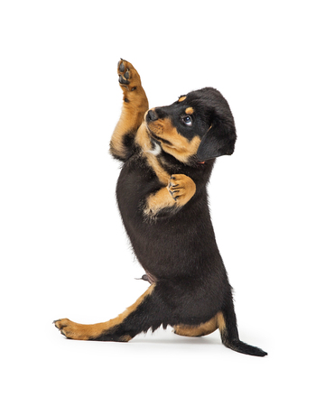 Cute Rottweiler puppy dog sitting on white facing to side and lifting paws up 版權商用圖片